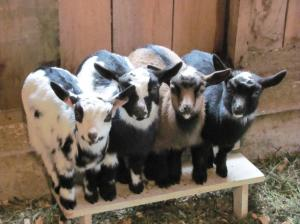 last year's babies at Wren Hill Farm